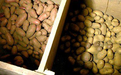 Как хранить семенной картофель в домашних условиях