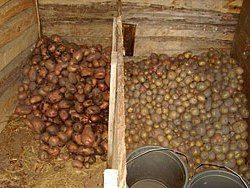 Картофель можно хранить, просто высыпав его на пол.