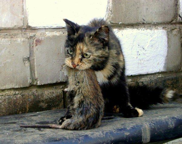 Кошка, собравшаяся поедать крысу и рискующая заразиться от нее.